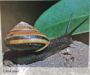 The Humboldt County Land Snail